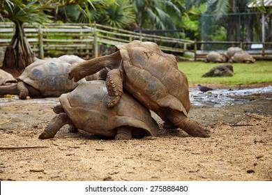 Turtle pairing, national park, Seychelles