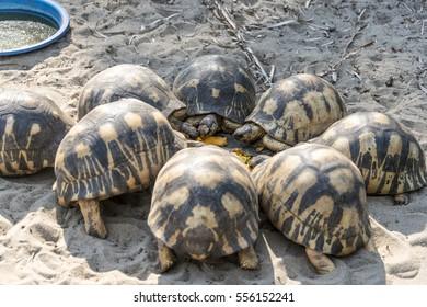 Turtle. Pangalanes canal. Mananjary. Madagascar