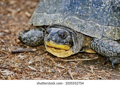 The turtle, portrait. Tortoise-gopher (Lat. Gopherus polyphemus) - a kind of land tortoises. It is protected by law in Florida, Alabama and South Carolina.