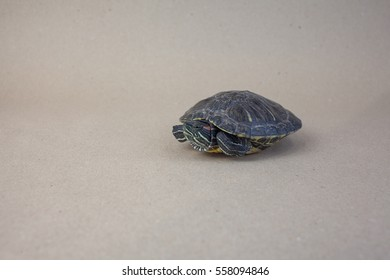 Turtle posing for a photo shoot, panzer reptile, white background