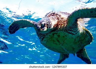 Turtle preparing to swim deeper