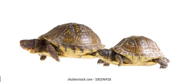 Turtle race. Male and female three-toed box turtle - Terrapene carolina triunguis