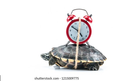 Turtle and red clock on white background in concept slowly time