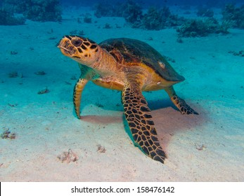 Turtle in Red Sea Dive
