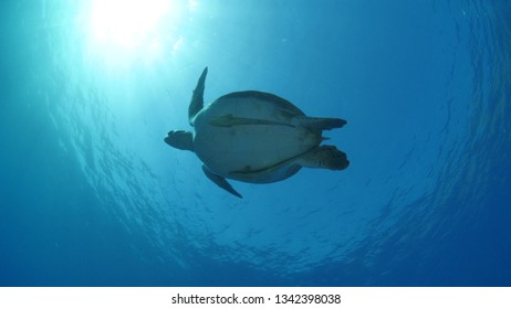 turtle with remora pilot fish underwater