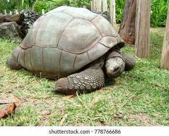 turtle reptil mauritius