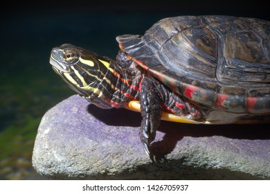 turtle reptile wildlife nature shell aquatic animal