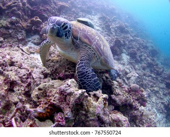 A turtle seen at moalboal,Cebu, Philippines