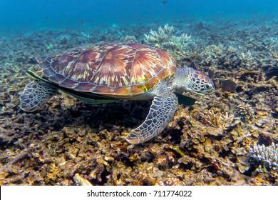 Turtle at Shark Bay Reef Koh Tao