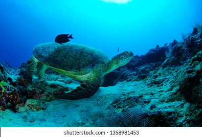 turtle in sipadan