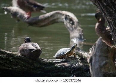 A turtle sitting next to a duck on an old branch