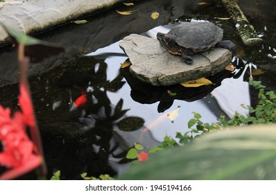 Turtle Sitting on Rock in Coy Pond