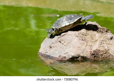 Turtle sitting on a stone taking a sunbath