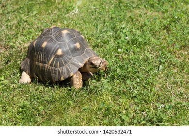 Turtle slowly crawls in the green grass