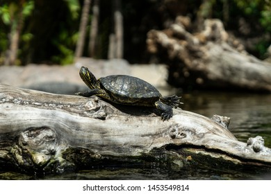 Turtle standing on the wood in the water
