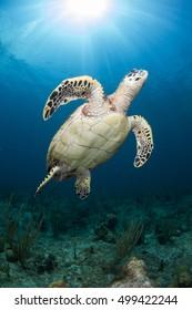 turtle with sun burst