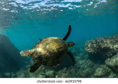 Turtle swimming on coral reef in hawaii