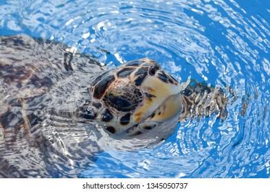 Turtle swimming on the sea in Brazil