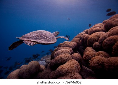 turtle swimming over reef at sunset time