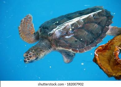 Turtle swimming in Praia do Forte Beach, Brazil.
