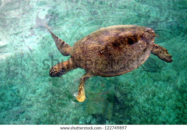 a turtle was swimming in shallow coastal at Derawan Islan Indonesia