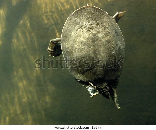 A turtle swimming underwater.