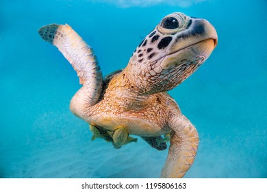 Turtle swimming underwater Close up