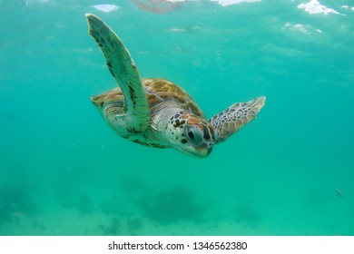 turtle swims in the clear ocean near the island of Mauritius