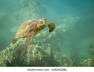 Turtle Swims through reef