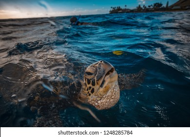 Turtle taking an air breath at water surface, closeup shot water background