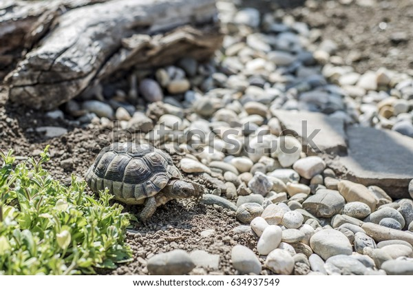Turtle Testudo Marginata european landturtle wildlife free eating
