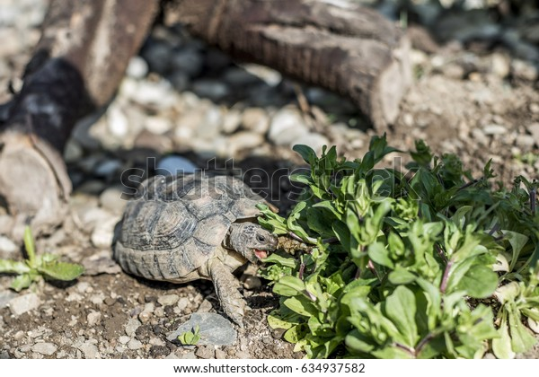 Turtle Testudo Marginata european landturtle wildlife free eating