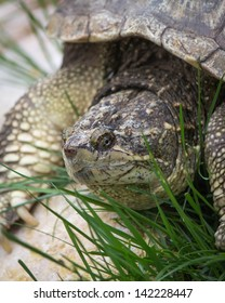 Turtle Tortoise Head and Shell in Grass