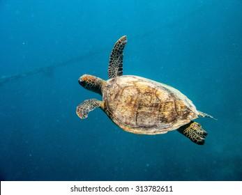 Turtle Underwater Great Barrier Reef Queensland Australia