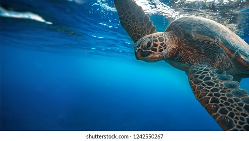 Turtle underwater touching water surface with flipper, closeup portrait on blue water background with copyspace