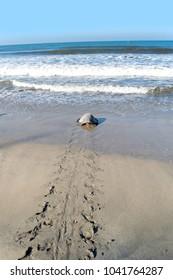 Turtle walking to the ocean