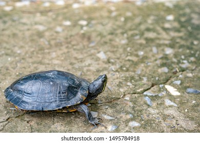 Turtle walking on concrete road, animal wildlife concept, small turtle looking forward.