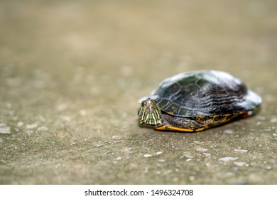 Turtle walking on concrete road, small turtle animal rise head to looking forword on blurred background