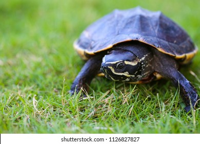 Turtle is walking on the grass in nature. Turtle with armature for protect by self. animal walk slow is turtle then have armature for protected without enemy.