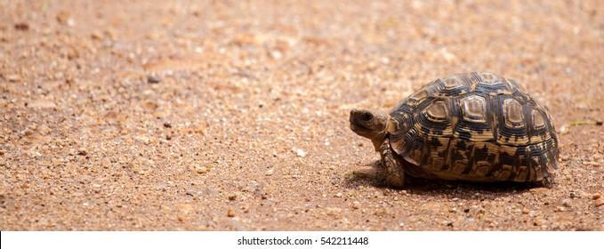 Turtle walking over the road, on safari in Kenya