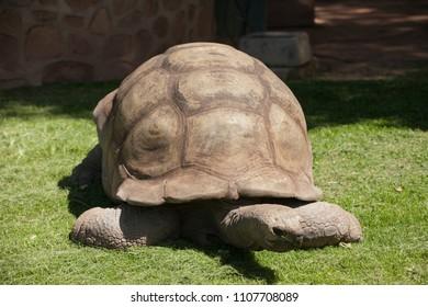 The turtle in the  Zimbabwe, big old animal, reptile, natural fauna.