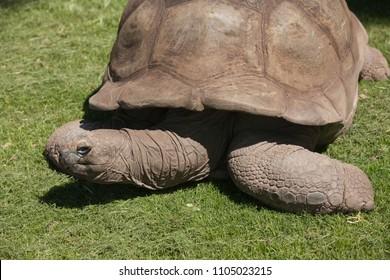 The turtle in the Zoo Zimbabwe, big old animal, reptile, natural fauna.