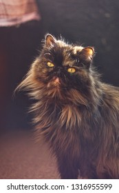 Turtle-colored Persian cat on loggia basks in the warmth of autumnal sunlight (retro lens)