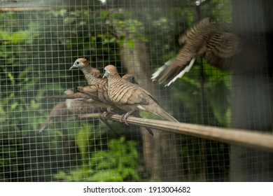 turtledove bird in the cage