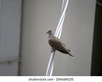 Turtledove bird in cinque terre liguria italy looking at you