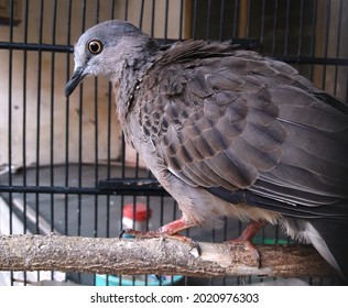 the turtledove in its cage is quietly photographed