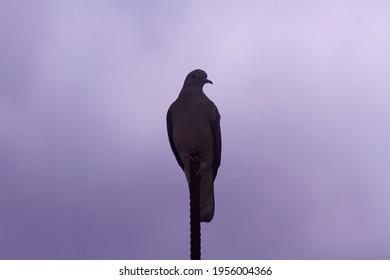 turtledove city Bird posing low in cloudy sky