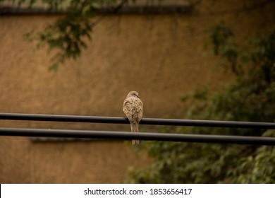 A Turtledove (Columbina inca). Common bird of mayor cities