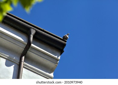 Turtledove hanging on a roof with a clear sky as background
