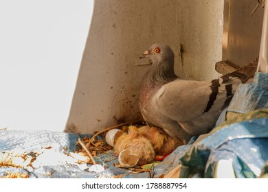 the turtledove and her little youngsters